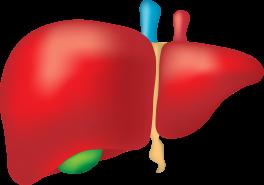 liver-2934612_1920